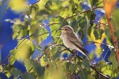 pájaro gris que se sienta entre las hojas de otoño de oro del abedul en el cielo azul del fondo Imagen de archivo libre de regalías