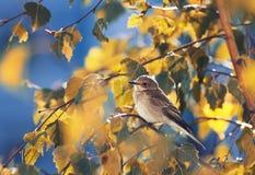 pájaro gris que se sienta entre las hojas de otoño de oro del abedul en el cielo azul del fondo Foto de archivo