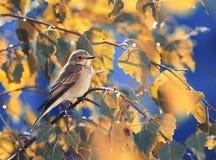 pájaro gris que se sienta entre las hojas de otoño de oro del abedul en el cielo azul del fondo Fotos de archivo libres de regalías