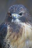 Pájaro - halcón atado rojo fotografía de archivo libre de regalías