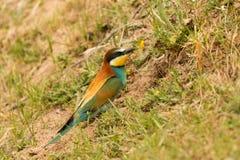 Pájaro hermoso con un plumaje agradable que hace la jerarquía Imagen de archivo libre de regalías