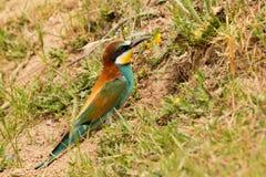 Pájaro hermoso con un plumaje agradable que hace la jerarquía Fotos de archivo