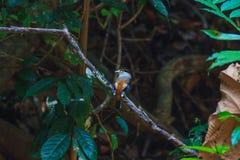 Pájaro hermoso de Broadbill de la plata-breasted en una rama Foto de archivo libre de regalías