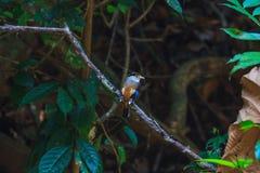 Pájaro hermoso de Broadbill de la plata-breasted en una rama Fotografía de archivo libre de regalías