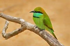 Pájaro hermoso de Sri Lanka Pequeño Abeja-comedor verde, orientalis del Merops, pájaro raro verde y amarillo exótico de la India  Imágenes de archivo libres de regalías