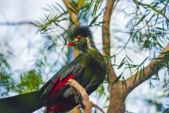 Pájaro hermoso del Turaco Imagenes de archivo