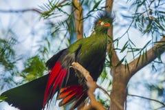 Pájaro hermoso del Turaco Fotos de archivo libres de regalías