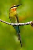 Pájaro hermoso en el hábitat de la rama de árbol de la naturaleza Escena de la fauna de Asia philippinus Azul-atado del Merops de Foto de archivo libre de regalías