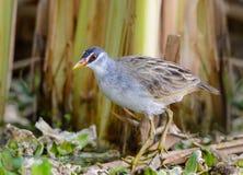 Pájaro hermoso en lagunas Fotografía de archivo