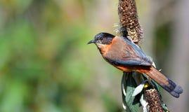 Pájaro hermoso en perca Fotos de archivo