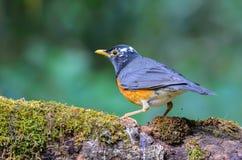 Pájaro hermoso en rama Fotografía de archivo libre de regalías