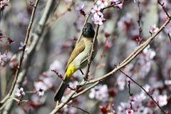 Bulbul hermoso del pájaro Fotos de archivo libres de regalías