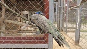 Pájaro hermoso en una reserva del parque zoológico en una jaula, fondo del pavo real metrajes
