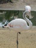 Pájaro hermoso y agraciado del flamenco que camina cerca del lago en el parque zoológico de Erfurt Foto de archivo