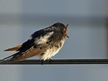 Pájaro i que canta en un alambre eléctrico Fotografía de archivo