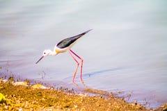 Pájaro inclinado negro rosado de las piernas Imagenes de archivo