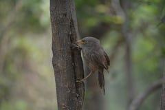 Pájaro indio común del hablador de la selva Fotografía de archivo libre de regalías