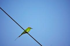 Pájaro indio de los orientalis del Merops Fotos de archivo