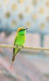 Pájaro indio de los orientalis del Merops Foto de archivo libre de regalías