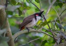 Pájaro indio del cazamoscas del paraíso en follaje denso en hábitat natural Fotos de archivo libres de regalías