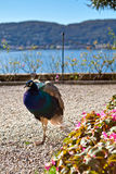 Pájaro indio del pavo real al aire libre en la grava Imagen de archivo libre de regalías