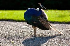 Pájaro indio del pavo real al aire libre en la grava Fotografía de archivo libre de regalías