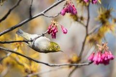 Pájaro japonés del Blanco-ojo en flores rosadas y amarillas en Tokio Foto de archivo