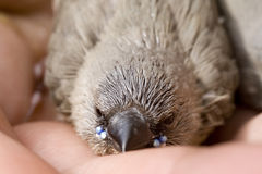 Pájaro joven Foto de archivo libre de regalías