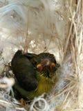 Pájaro joven Fotos de archivo