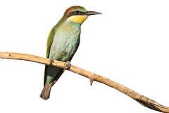 Pájaro joven con el plumaje verde aislado en blanco Fotos de archivo libres de regalías