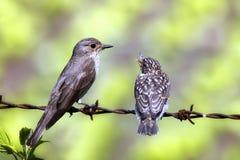 Pájaro joven con un padre Imagen de archivo