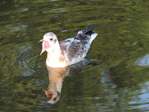 Pájaro joven de la gaviota Imagen de archivo libre de regalías