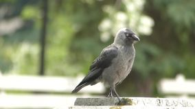 Pájaro joven del cuervo almacen de metraje de vídeo