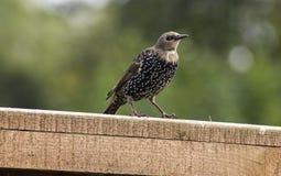 Pájaro joven del estornino Imagen de archivo