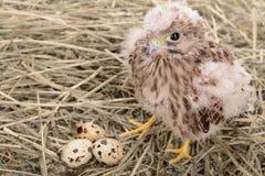 Pájaro joven del halcón Imagen de archivo