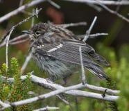 Pájaro joven en árbol Foto de archivo
