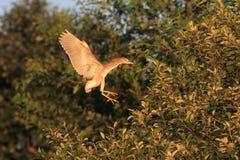 Pájaro joven que vuela coronado negro de la garza de noche Fotografía de archivo libre de regalías