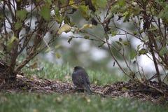 Pájaro - Junko foto de archivo