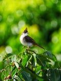 Pájaro juvenil del Bulbul en hábitat natural Fotografía de archivo libre de regalías