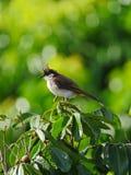Pájaro juvenil del Bulbul en hábitat natural Imagenes de archivo