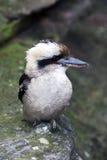 Pájaro, Kookaburra Fotos de archivo libres de regalías