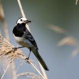 Pájaro Kwikstaart Imagen de archivo libre de regalías