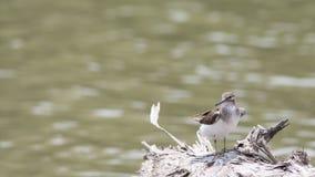 Pájaro: Lavandera común Fotos de archivo