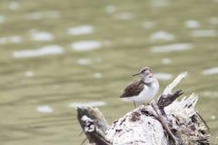 Pájaro: Lavandera común Fotografía de archivo libre de regalías