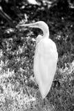 Pájaro lindo blanco del barrido Fotos de archivo libres de regalías