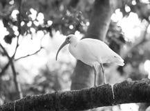Pájaro lindo del barrido Fotografía de archivo libre de regalías