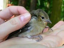 Pájaro lindo en manos Fotos de archivo