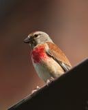 Pájaro - Linnet eurasiático Imágenes de archivo libres de regalías