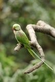 Pájaro --- Lory verde Foto de archivo