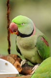 Pájaro --- Lory verde Fotografía de archivo